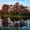 Description - Cypress Trees <b>Title - It Feels Like Autumn</b> <i>- Jim LaRocco</i>