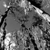 Description - Cypress Trees <b>Title - Towering Trees</b> Honorable Mention <i>- Barry Schein</i>