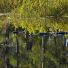 Description - Alligators in Marsh <b>Title - Reflection</b> <i>- Alan Crutcher</i>