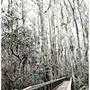 Description - Cypress Swamp Boardwalk <b>Title - Through the Forest</b> <i>- Debbie Rubin</i>
