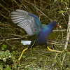 Description - Purple Gallinule <b>Title - Leap of Faith</b> <i>- Matthew Hebron</i>