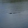 Description - Alligator <b>Title - Alligator</b> <i>- Dion Sellitti</i>
