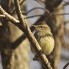 Description - Palm Warbler <b>Title - Perched Bird</b> <i>- Matthew Hebron</i>