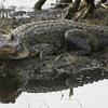 Description - Alligator and Reflection <b>Title - Shadow</b> <i>- Hali Klopman</i>