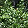 Description - Ruddy Daggerwing Butterflies on Virginia Willow <b>Title - Butterflies on Bush</b> <i>- Dion Sellitti</i>