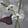 Description - Queen Butterfly on Duck Potato <b>Title - Butterfly</b> <i>- Matthew Hebron</i>