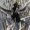 Description - Anhinga <b>Title - Feathers</b> <i>- Hali Klopman</i>