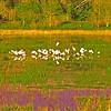 Description - Flock of Birds in Marsh <b>Title - Flock</b> <i>- John Sutor</i>