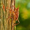 Description - Lubber Grasshopper on Tree <b>Title - Grasshopper</b> Honorable Mention <i>- John Sutor</i>