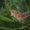 Description - Lubber Grasshopper <b>Title - Lubber Grasshopper</b> <i>- Matthew Hebron</i>