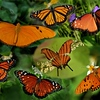 Description - clockwise, starting with largest: Julia, Monarch, Queen, Ruddy Daggerwing, Gulf Fritillary, Queen, Viceroy <b>Title - Orange Butterfly Collage</b> <i>- Meg Puente</i>