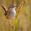 <b>Title - Marsh Wren</b> 2nd Place <i>- Kit Snider</i>