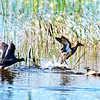 Description - Blue-Winged Teals <b>Title - Get Out of My Space</b> <i>- Don Durfee</i>