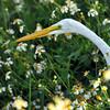 Description - Great Egret in Spanish Needle <b>Title - Egret Among the Daisies</b> <i>- Bridget Lyons</i>