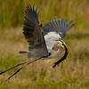 <b>Title - Great Blue Heron with Gar Fish</b> Honorable Mention <i>- Meg Puente</i>