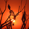 <b>Title - Red-shouldered Hawk at Sunset</b> Honorable Mention <i>- Jeremy Raines</i>