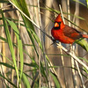 Description - Northern Cardinal <b>Title - Red Bird</b> <i>- Don Durfee</i>