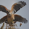 <b>Title - Red-shouldered Hawks</b> 1st Place <i>- Sherry Leffert</i>