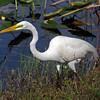 <b>Title - Great Egret</b> <i>- Deborah Moroney</i>
