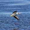 Description - White Pelican at STA-1W <b>Title - White Pelican</b> <i>- Diane Munster</i>