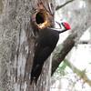 <b>Title - Pileated Woodpecker</b> <i>- Beverly Owen</i>