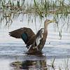 Description - Mottled Duck <b>Title - Duck Landing</b> <i>- Beverly Owen</i>