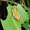 Description - Lubber Grasshopper <b>Title - Leaf Lubber</b> <i>- Diane Munster</i>