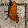 Description - Ruddy Daggerwing Butterfly <b>Title - Checking Out the Brick Walk</b> <i>- Art Seidenberg</i>
