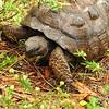 <b>Title - Gopher Tortoise</b> <i>- Andres LaBrada</i>