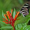 <b>Title - Zebra Longwing on Firebush</b> <i>- Deborah Moroney</i>