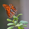 <b>Title - Gulf Fritillary Butterfly</b> Honorable Mention <i>- Marilynne Strazzeri</i>