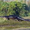 <b>Title - Alligator</b> <i>- Ed Mattis</i>