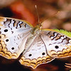 <b>Title - White Peacock Butterfly</b> Honorable Mention <i>- Phoenix Marks</i>