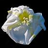 <b>Title - Moonflower Aging</b> <i>- Myrna Rodkin</i>