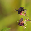 <b>Title - Two Bushbean Flowers with Ants</b> 3rd Place <i>- Meg Puente</i>
