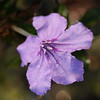 Description - Pineland Petunia <b>Title - Purple Infusion</b> Honorable Mention <i>- Kathleen Fosselman</i>