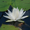 <b>Title - White Water Lily</b> Honorable Mention <i>- Deborah Moroney</i>