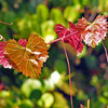 Description - Muscadine Grape Vine <b>Title - Autumn Leaves</b> <i>- Harvey Mendelson</i>