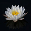 <b>Title - White Water Lily</b> 1st Place <i>- Ruth Pannunzio</i>