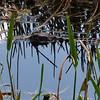 <b>Title - American Alligator</b> <i>- Sarah Apicella</i>