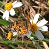 <b>Title - Phaon Crescent Butterfly on Spanish Needle</b> 1st Place <i>- Hali Klopman</i>