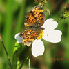 Description - Phaon Crescent Butterfly on Spanish needle <b>Title - Phaon Crescent on Bidens alba var. radiata</b> <i>- Sarah Apicella</i>