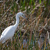 Description - Immature Little Blue Heron (White Phase) <b>Title - Going Fishing</b> <i>- Noah Kersten</i>