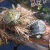 <b>Title - Florida Red-bellied Turtles</b> 3rd Place <i>- Sarah Apicella</i>