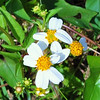 Description - Spanish needle <b>Title - Bidens alba var. radiata</b> <i>- Sarah Apicella</i>