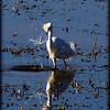 Description - Snowy Egret <b>Title - Snowy Lady of the Lake</b> <i>- Fabian Garcia</i>