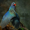 Description - Purple Gallinule <b>Title - Cloak</b> Honorable Mention <i>- Meg Puente</i>