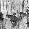 Description - Blue-winged Teals <b>Title - Ducks In a Row</b> <i>- Gwen Solomon</i>