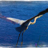 Description - Great Blue Heron <b>Title - Deep Blue Flight</b> <i>- Fabian Garcia</i>
