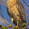 Description - Red-shouldered Hawk <b>Title - Camouflage</b> <i>- Arthur Jacoby</i>